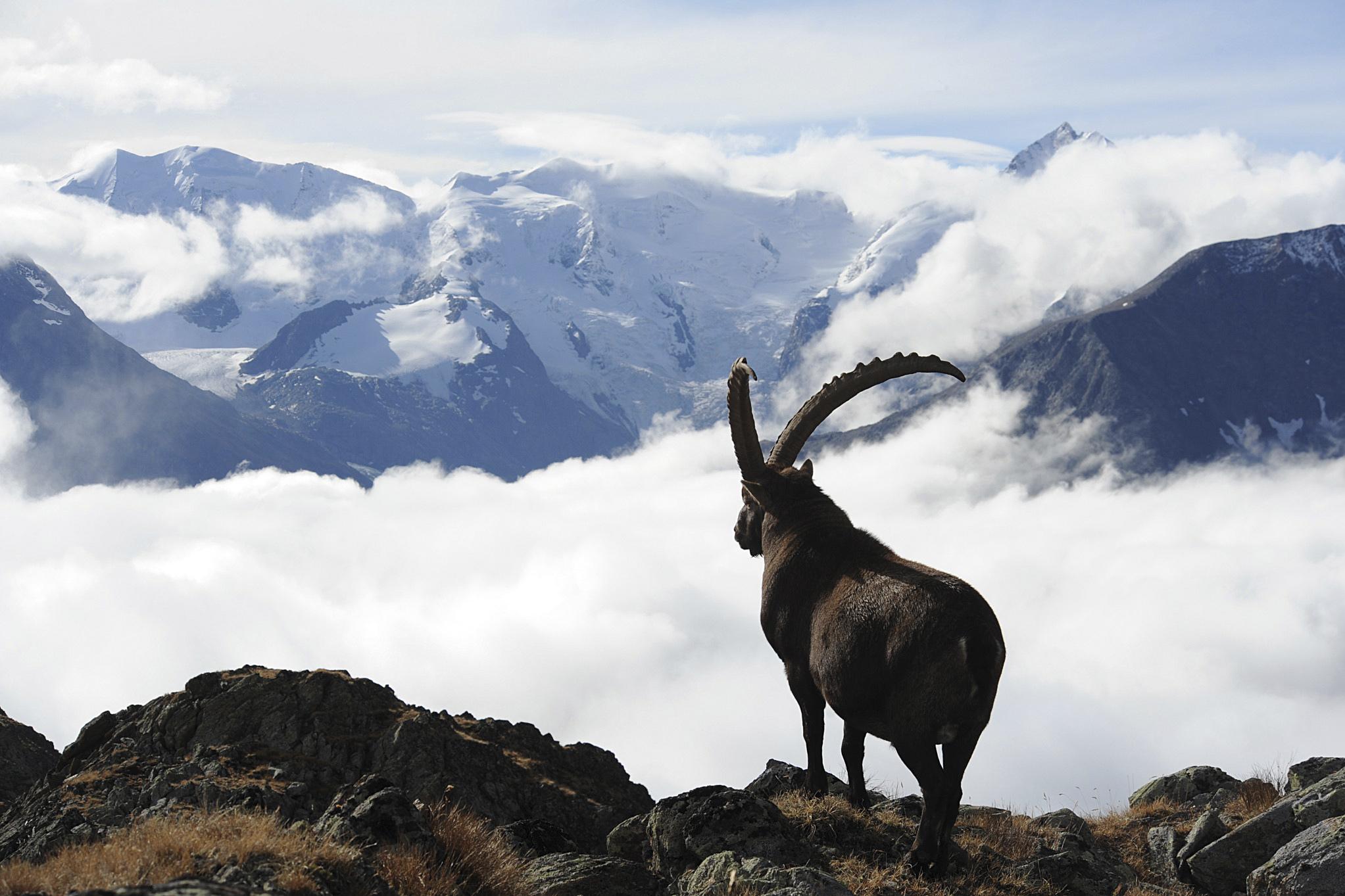 Pontresina – a paradise for ibex