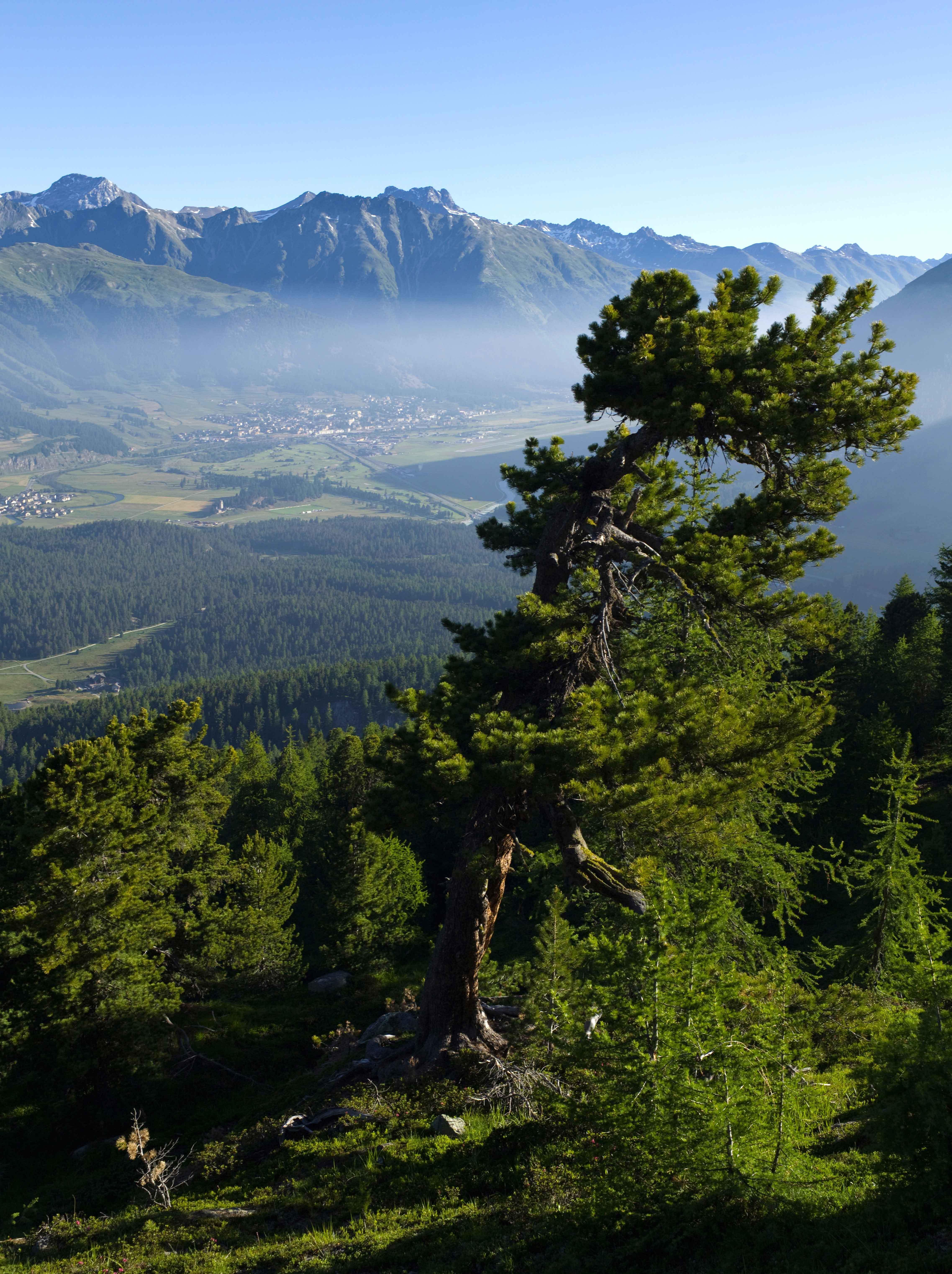 Over 1000 years old Swiss stone pine at Muottas da Schlarigna with view of the Piz Kesch (3418m).