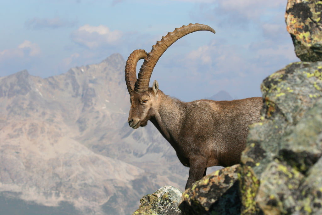 Ibex at Swiss National Park
