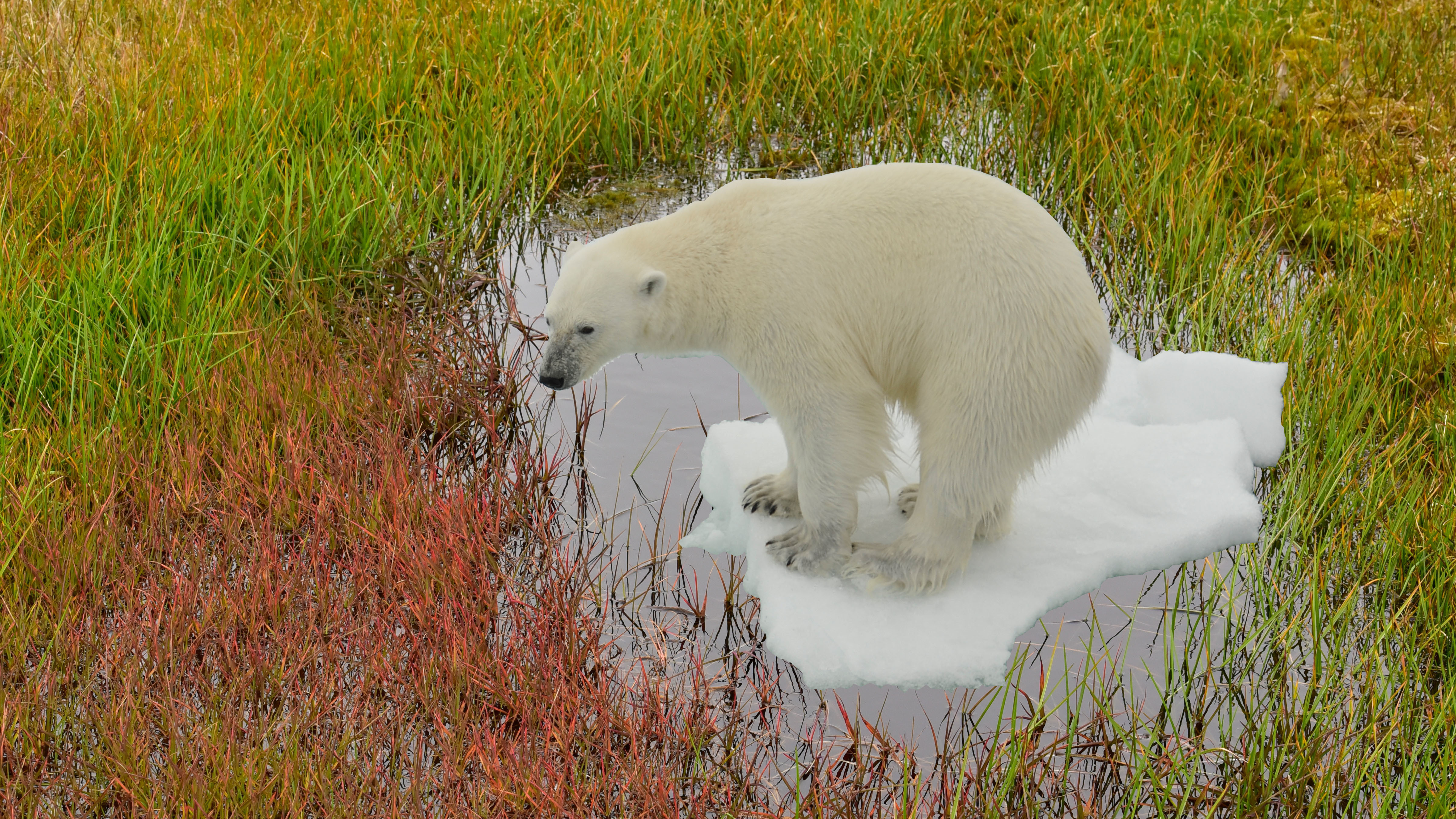 Multivisions-Show: ARKTIS  - what future for polar bears?